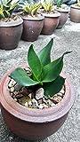 Sansevieria trifasciata hort. ex Prain cv. Hahnii Jade Pagoda