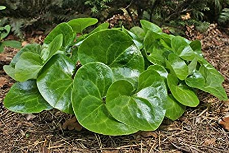 WILD GINGER Asarum Canadense Woodland Native Ground Cover Canadian 10 Seeds