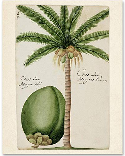 Coconut Tree Botanical Illustration - 11x14 Unframed Art Print - Makes a Great Beach House Decor Under - Botanicals Coconut