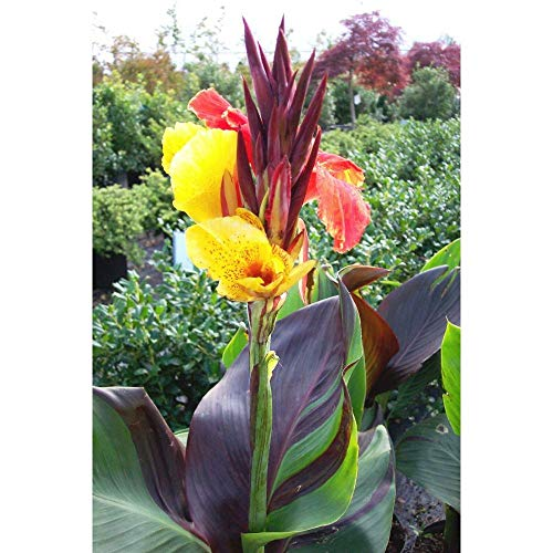 (1 Cleopatra Canna Lily, Beautiful Dark Foilage New Flower Rhizome .Check Store #SC01)