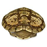 Real Pond Turtle Shell