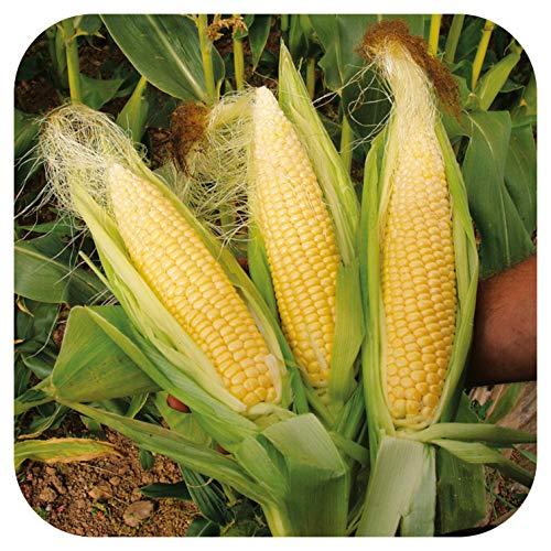 Organic Sweetcorn Mainstay Large Plug Plants x 3 Grow Your Own