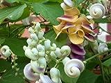 Rare Cochliasanthus Vigna Caracalla - True Corkscrew Shell Vine - 5 Seeds