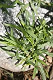 Tarragon Herb 100 Seeds - GARDEN FRESH PACK!