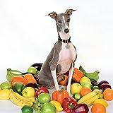 Excellent Italian Greyhound