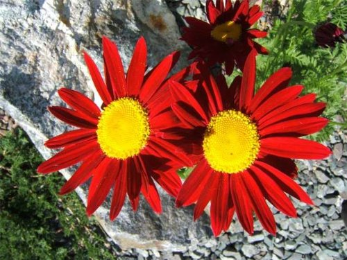(100 RED ROBINSONS DAISY Painted Chrysanthemum Coccineum Pyrethrum Flower Seeds)