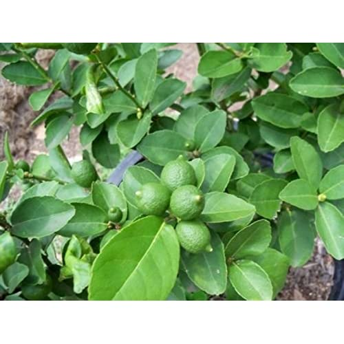 Discount Key Lime (5 Seeds) Fresh for sale