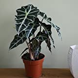 Amazon Black Shield Plant - Alocasia Polly - Live Houseplant - Clean Air!