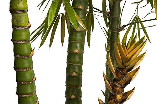 Dwarf Buddha Belly Bamboo - 1 Gallon Plant - Bambusa Vulgaris 'Wamin' (Best Lemon Tree To Grow In Florida)