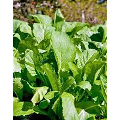 Mustard Greens Seed, Old Fashioned Green, Heirloom, Organic, Non GMO, 25+ Seeds : Garden & Outdoor