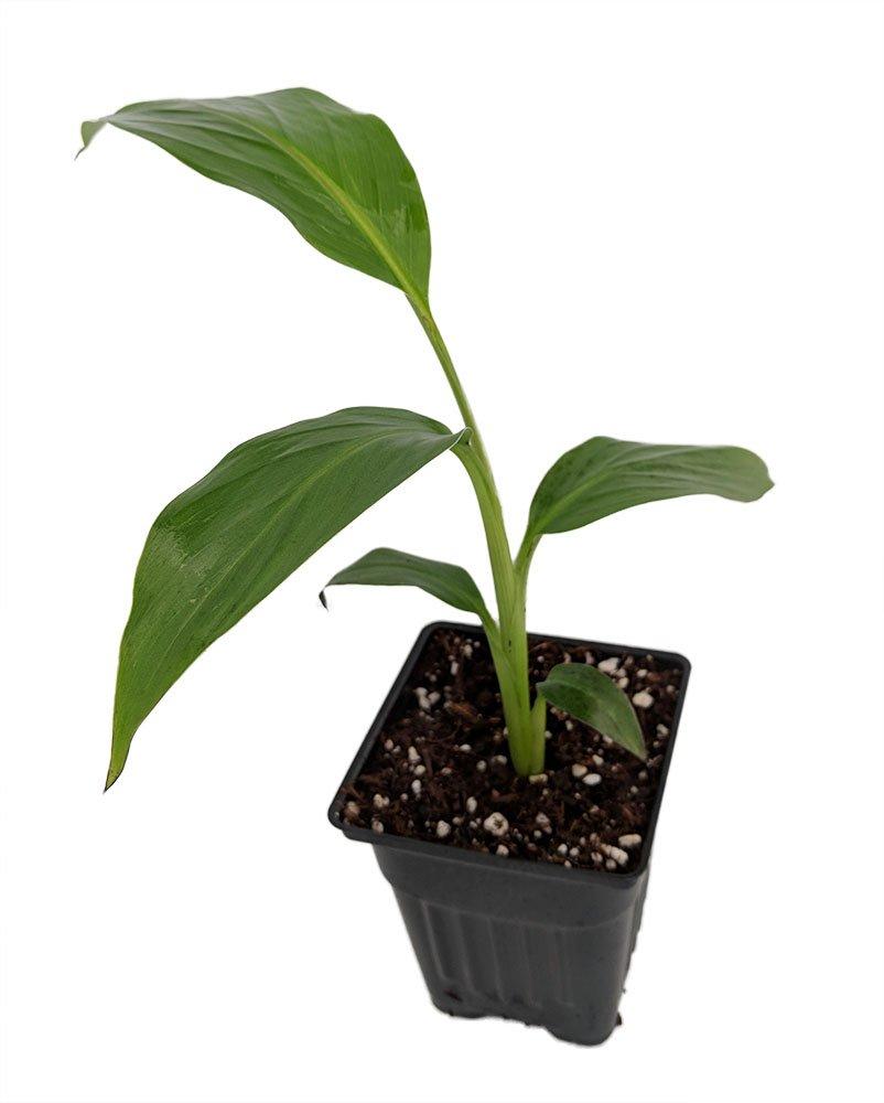 Ohio Grown Winter Hardy Basjoo Banana Plant - Musa - 4'' Pot