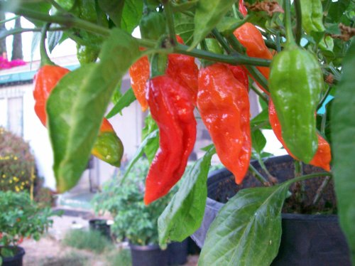 Bhut Jolokia-Ghost Chile 10 Dried Peppers (Pepper Ghost Fresh)