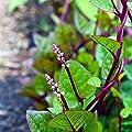 Maserfaliw Seeds 100Pcs Gynura Cusimbua Malabar Spinach Seed Organic Vegetable Yard Garden Plant