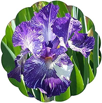 Amazon Com Stargazer Perennials Gnu Again Bearded Iris Plant