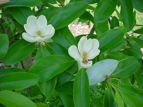 - 1 Sweet Bay Magnolia tree-shrub - 'Magnolia virginiana'-2 to 3 feet tall--$9.99