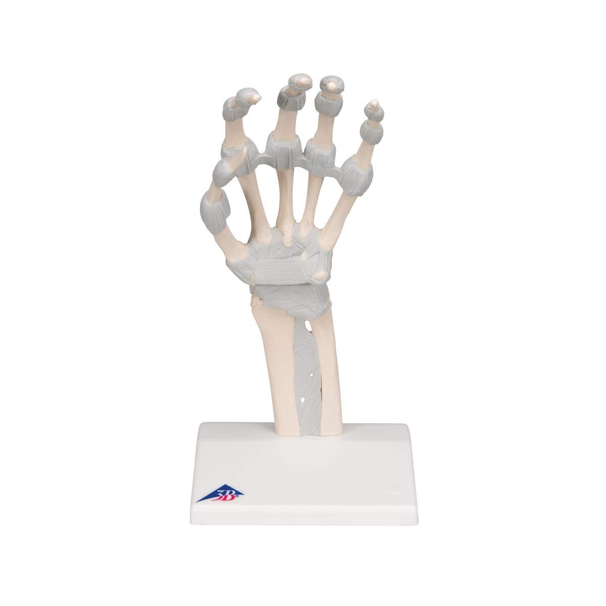 手関節,靭帯付機能モデル 柔らかい靭帯付機能モデル  B06XR9HC8L