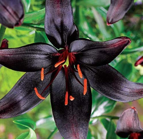 Black Lily Bulbs-2 Bulbs-Mid Summer Blooming Perennial Flowers Plant Bonsai Potted Suitable for Decor Your Garden ()