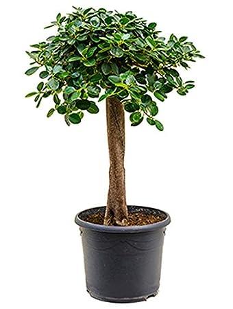 Feigenbaum 70 90 Cm Im 29 Cm Topf Asiatische Zimmerpflanze Fur