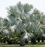 3pcs/Bag Fresh Rare Bismarckia nobilis - Silver Bismarck Palm Semillas