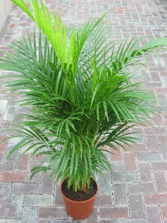 Image result for areca palm indoor plant