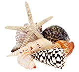 Large Sea Shells Mixed Beach Seashells - 350 Grams - Quality, Handpicked and Cleaned - Bag of Approx. 7 Seashells