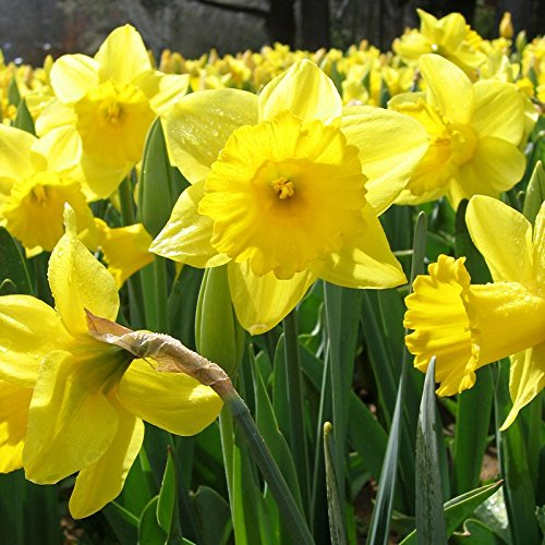 Dutch Master Daffodil 100 Bulbs -Deer & Rodent Resistant - 12/14 cm Bulbs