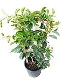 PlantVine Stephanotis floribunda, Bridal Wreath, Madagascar Jasmine - Large, Bush - 8-10 Inch Pot (3 Gallon), Live Plant