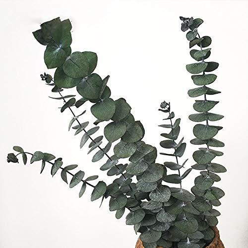 KALOR Green Preserved Eucalyptus Branches Home Décor DIY 5-7 Stems (Green) ()