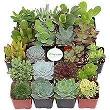Shop Succulents Unique Succulent (Collection of 20)