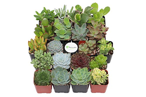 Shop Succulents Unique Succulent (Collection of 20)
