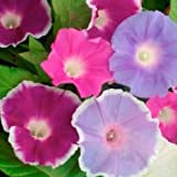 "40 Seeds, Morning Glory ""Early Call"" (Ipomoea purpurea) Seeds By Seed Needs"