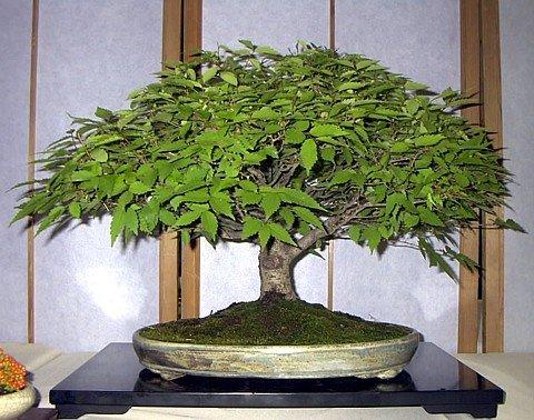- Japanese Zelkova Bonsai - 25 Seeds