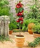 Scarlet Sentinel Columnar Apple Tree