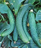 Heirloom Suyo Long Cucumber Seed by Stonysoil Seed Company CERTIFIED ORGANIC SEEDS