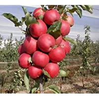 Vamsha Nature Care Live World Famous Kashmir Apple Plant