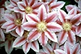 "Bees Jubilee Clematis Vine - Pink & Red Blooms - 2.5"" Pot"