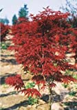 "Blood Leaf Japanese Maple ""Acer palmatum Atropurpureum""15 Seeds"