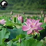 Kasuki Buy Chinese Pond Lotus Flower Semente 80pcs Water Plant Flower Nelumbo Lotus