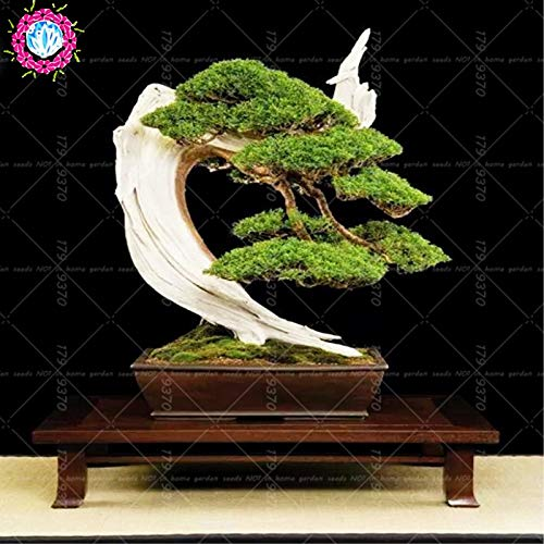 50pcs Black Pine Tree Bonsai Potted Landscape Japanese Five Needle Pine Bonsai Miniascape Bonsai Pinus ()