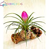 50pcs Hot Sale Tillandsia Cyanea Seeds Potted Flower Seeds Purple Chinese Rare Bonsai Decoration For Home & Garden