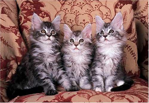 Maine Coon Cat Kitten (Maine Coon Cat Kittens 300 Piece Jigsaw)