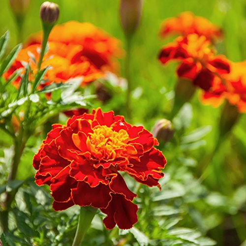 Outsidepride Red Marigold Plant Flower Seeds - 1000 Seeds