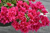 "Two Live 4 Inch Bougainvillea""Double Red"" Deep Red Flower. 4 Plants, 2 per Pot."