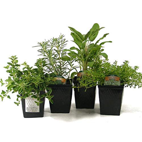Cutdek Herb Collection 4 Plants Sage, Oregano, Thyme and Rosemary - Great Gift Herb Kit Non-GMO Organic Potted by Cutdek
