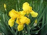 Iris - Yellow - Germanica - 3 bulbs