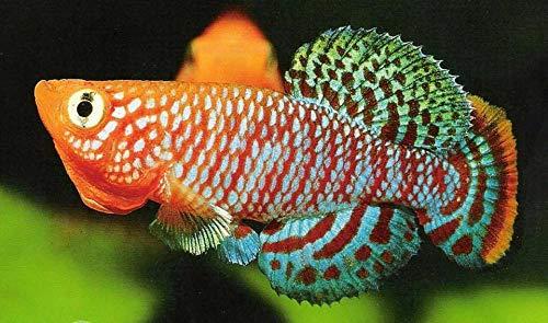 Siam Live Aquarium 60 Eggs NOTHOBRANCHIUS Killifish KILLI Egg Hatching Tropical Fish + Food