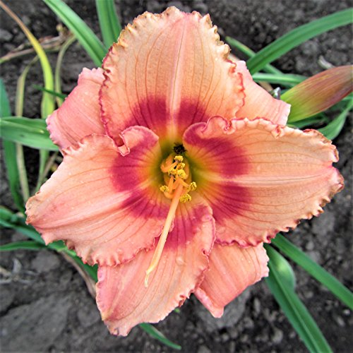 Pink Daylily Strawberry Candy - 1 Healthy Bare Root Hemerocallis Plant - 2/3 Fans | Ships from Easy to Grow TM