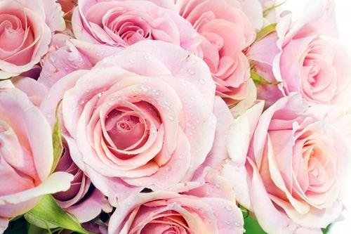 Pink Roses - Art Print Poster,Wall Decor,Home Decor