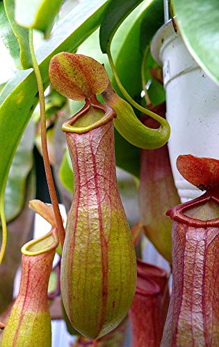 small nepenthes pitcher plant - 8