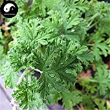 Herb Plant Pelargonium Hortorum Buy Pelargonium Graveolens Semente 400pcs Plant Herb Insect Repellent Grass